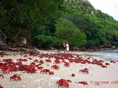 Einmal im Jahr machen sich diese Krabben auf den Weg zum Strand. Foto: Michael Nelson/Parks Australia/dpa