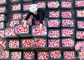 苹果丰收果农忙 20,000 hectares of apple orchards are primed for harvest