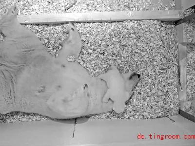 Der kleine Eisbär kletterte auch über den Kopf seiner Mutter. Foto: Tierpark Berlin/dpa