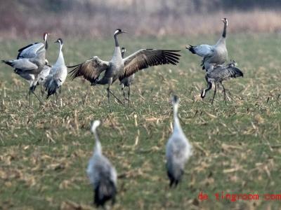 Wenn sie ihre Flügel ausbreiten, sehen Kraniche beeindruckend aus. Foto:Jens Büttner/dpa-Zentralbild/ZB