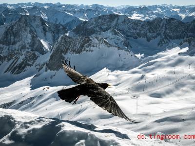 Die Alpendohle mag Berg-Touristen. In der Nähe von Berghütten schnappt sie sich oft Essensreste. Foto: Sina Schuldt/dpa