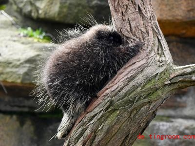 Dies ist ein Urson, auch Baumstachler genannt. Foto: Jens Kalaene/dpa-Zentralbild/ZB