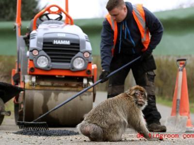 Was passiert denn hier? Der Affe scheint sich über die Arbeiten auf der Straße zu wundern. Foto: Andrew Milligan