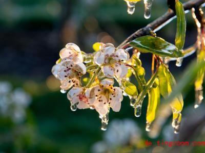 Obstbauern lassen Blüten absichtlich vereisen. Denn das schützt sie vor noch größerer Kälte. Foto: Daniel Reinhardt/dpa