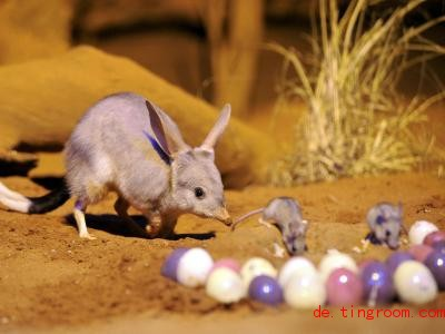 In Australien sind Bilbies als Ostertiere beliebt. Foto: Wild Life Sydney / Ho/AAP / WILD LIFE SYDNEY / HANDOUT/dpa