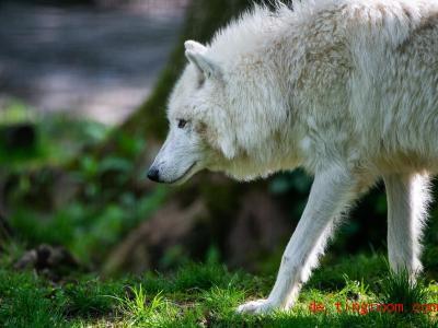 Im Gehege fällt das weiße Fell des Polarwolfes auf. Im Schnee aber ist er fast unsichtbar! Foto: Christophe Gateau/dpa