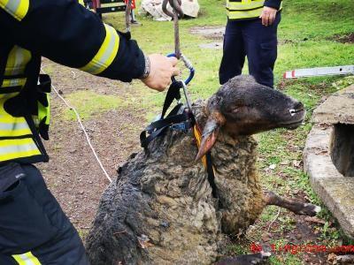 Die Feuerwehr ko<em></em>nnte das Schaf innerhalb von wenigen Minuten retten. Foto: Feuerwehr Gera/dpa