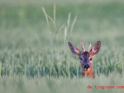 Der Rehbock ist an seinem Geweih zu erkennen. Er sitzt in einem Getreidefeld im Oderbruch. Foto: Patrick Pleul/dpa-Zentralbild/dpa