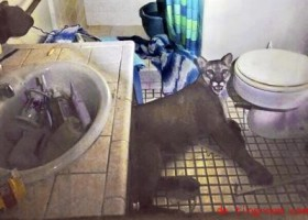 Ein Puma im Badezimmer