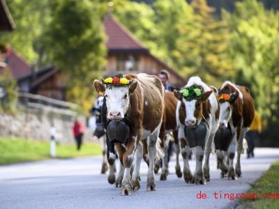 Den Sommer über waren die Rinder in den Bergen. Nun kommen sie zurück ins Tal. Foto: Anthony Anex/KEYSTONE