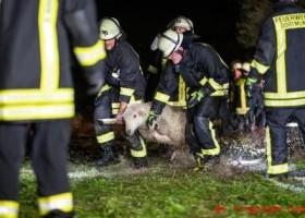 Schafe aus dem Wasser gerettet