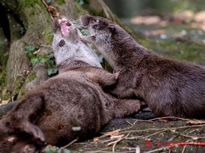 Spaß unter Freunden: Diese beiden Fischotter rangeln miteinander. Foto: Peter Steffen/dpa