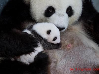 Panda-Babys werden blind geboren und öffnen ihre Augen erst nach einigen Wochen. Foto: Zoo Berlin/dpa