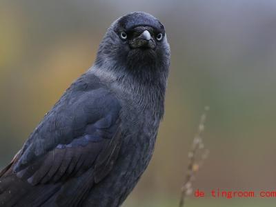 Dohlen sind kleiner als Krähen. Und haben blaue Augen!. Foto: Thomas Warnack/dpa