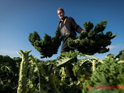 Grünkohl wird im Winter geerntet und enthält viele Vitamine. Foto: Peter Steffen/dpa