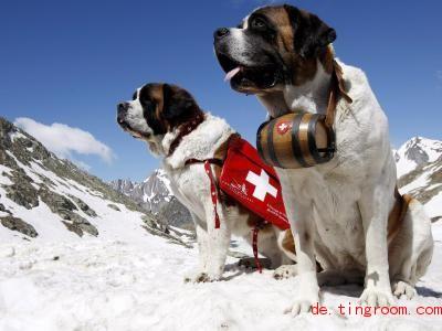 Der Name der Bernhardiner erinnert an einen Bergübergang in der Schweiz. Foto: epa Keystone Maire/epa Keystone/dpa