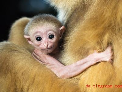 Dieses Weißhandgibbon-Junge wurde in einem Zoo geboren. Foto: Daniel Zupanc/Tiergarten Schönbrunn/APA/dpa