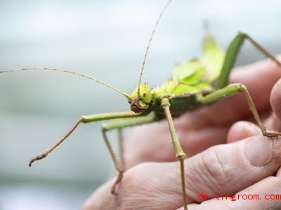 Die Riesengespenstschrecke wird riesig:Weibchen werden bis zu 17 Zentimeter groß. Foto: Sebastian Kahnert/dpa-Zentralbild/ZB