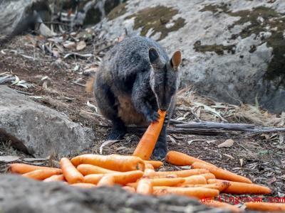 Helfer haben Karotten und Süßkartoffeln mit dem Flugzeug abgeworfen. So wollen sie den Wallabys helfen. Foto: Supplied/NSW NATIo<em></em>nAL PARKS AND WILDLIFE SERVICE via AAP/dpa