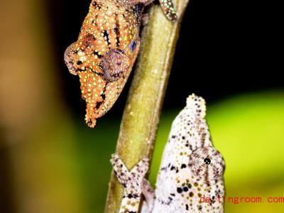 Diese zwei Nasen-Chamäleons gehören derselben Art an, zeigen aber jeweils eine andere Färbung. Foto: David Prötzel/ZSM/LMU/dpa