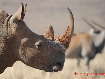 Nashörner werden wegen ihrer Hörner gejagt. Tierschützer helfen ihnen dagegen. Foto: picture alliance / dpa