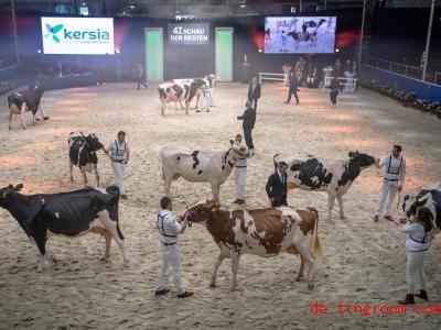 Die Kandidatinnen dieses Schönheitswettbewerbs sind Kühe. Foto: Sina Schuldt/dpa