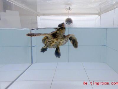Forscher haben herausgefunden: Meeresschildkröten reagieren auch auf den Geruch von Plastikmüll. Foto: Joseph Pfaller/dpa