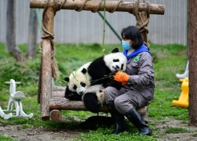 No pandas infected with COVID-19, says conservation center