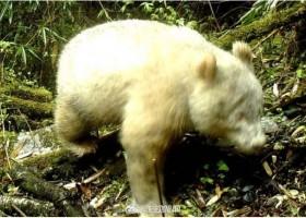 四川发现首只通体白色大熊猫 Rare all-white panda spotted in China
