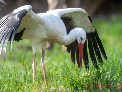 Der junge Storch schaut sich um und sucht nach Futter. Foto: Klaus-Dietmar Gabbert/dpa-Zentralbild/ZB