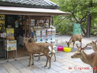 Diese Hirsche hoffen wohl, dass sie am Kiosk etwas zu knabbern bekommen. Foto: -/kyodo/dpa