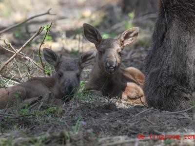 Die Elch-Zwillinge ruhen sich ein bisschen aus, sie sind noch sehr klein. Foto: Patrick Pleul/dpa-Zentralbild/ZB