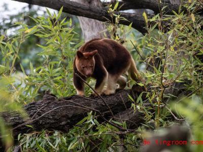 Baumkängurus leben in Regenwäldern. Foto: Paul Zinken/dpa-Zentralbild/dpa