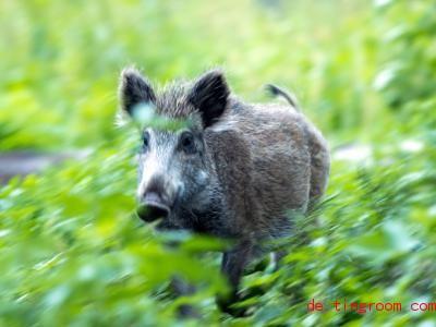 Ein Wildschwein läuft durch eine Wiese. Foto: Jens Büttner/dpa-Zentralbild/ZB