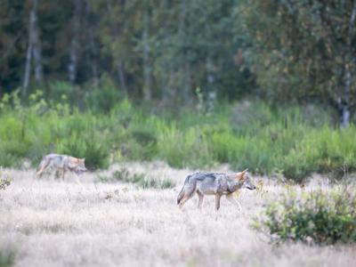 Diese Wölfe leben nahe der Hauptstadt Berlin. Foto: Ingolf König-Jablonski/dpa-Zentralbild/dpa