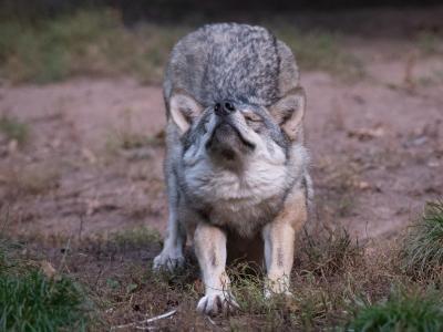 Wölfe jaulen normalerweise. Foto: Bernd Weißbrod/dpa