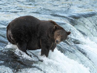 Braunbär Walker wartet auf Lachse: Ob er genug davon für den Titel «Fetter Bär 2021» gegessen hat?. Foto: L.Law/Katmai Nationalpark/dpa