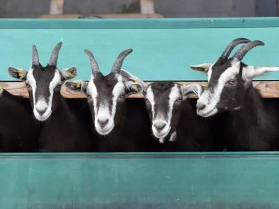 Diese Tiere gehören zu den Thüringer Wald Ziegen. Foto: Martin Schutt/dpa-Zentralbild/dpa